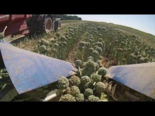 Récolte des oignons semences