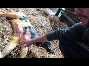 Sans mon aide ce veau serait mort à la naissance