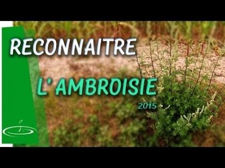 Ambroisie ou armoise, reconnaître la plante invasive – 2015