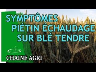 Symptômes du piétin échaudage sur blé tendre