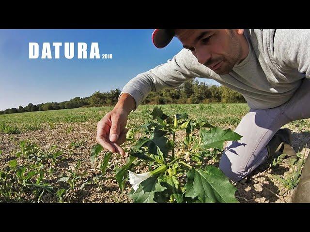 Des plantes toxiques dans les champs, la datura – 2018