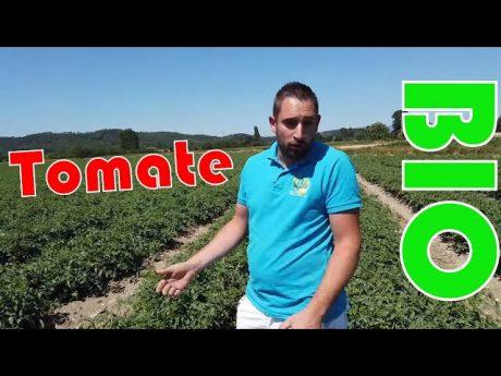 Culture de la tomate bio chez gael blard agriculteur bio.