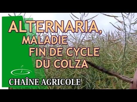 Alternaria, maladie de fin de cycle du colza