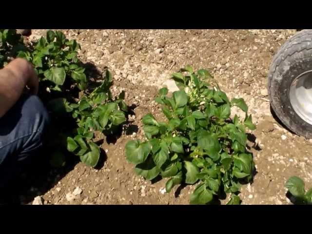 Demo herse etrille treefler dans des pommes de ter