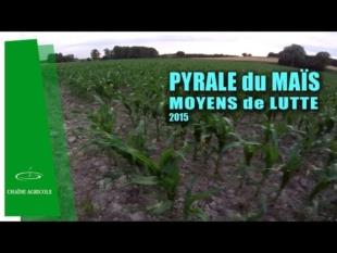 Lutte contre la pyrale, insecte ravageur du maïs