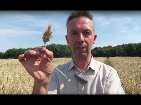 Une variété de blé révolutionnaire…