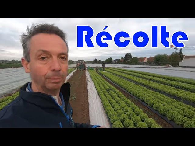 Première récolte des salade bio