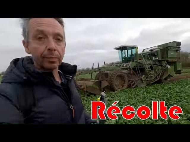 Récolte des endives chez rémi