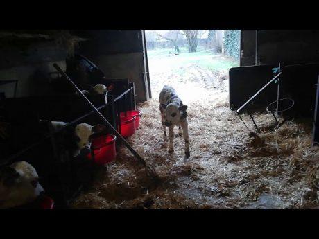 Quotidien à la ferme #1: retour après la séparation d'un veau de sa mère #1
