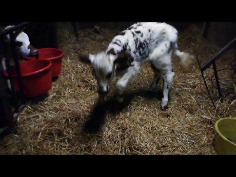 Quotidien à la ferme #2 : veaux malheureux ? chez les #eleveurs #français