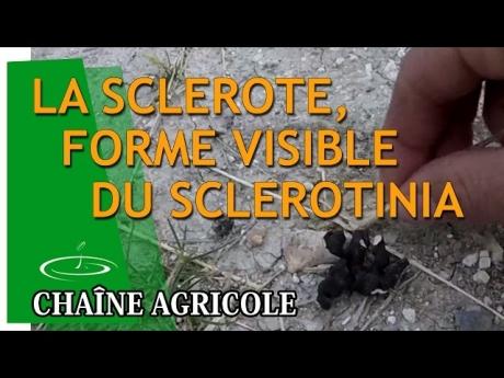 La sclérote, forme visible du sclerotinia sur colza
