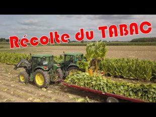 Récolte du tabac chez bernard et olivier