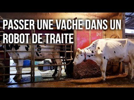 Trier des vaches dans un robot de traite