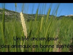 L'épeautre – un blé ancien pour l'alimentation des bêtes