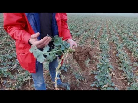 Culture du colza par richar vilbert
