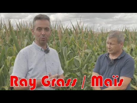 Ray grass résistants comment s'en débarasser grâce au maïs
