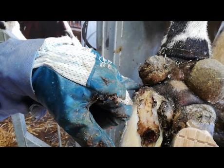 La manucure des vaches ! #bienetreanimal – elevage laitier