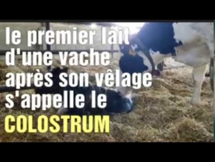 Le lait colostrum *vidéo courte*