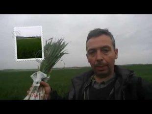 Besoins en azote du blé : méthode jubil.(bonne pratique.)