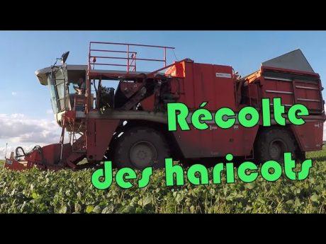 Récolte des haricots bio