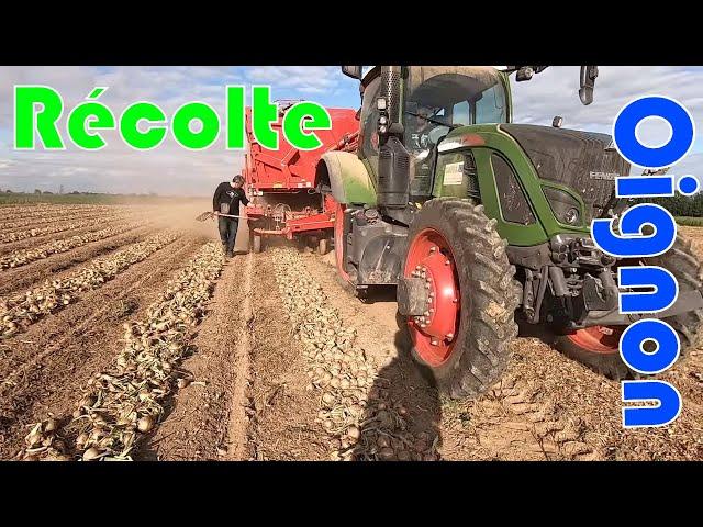 Récolte des oignons bio